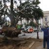 Arborii de tisă din faţa Teatrului de Stat – Extraşi cu rădăcină cu tot
