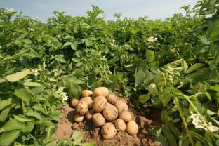 Buletin de avertizare fitosanitar - Tratamente pentru cireş şi cartof