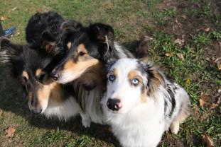 Campionatul internațional de câini ciobănești belgieni și olandezi - Câini din mai multe țări europene, la Oradea