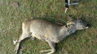 Bărbatul a fost prins cu un căprior în portbagaj, pe un fond de vânătoare din Sântimreu - Bihorean reținut pentru braconaj
