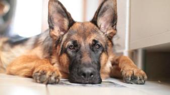 A murit primul câine testat pozitiv - Răpus de Covid-19