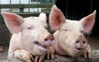 Evoluția pestei porcine africane în Bihor - Mai sunt active trei focare
