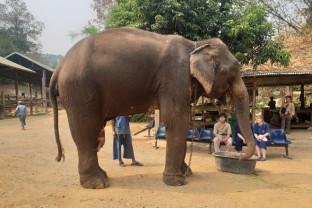 Elefanţii din Thailanda - Victime colaterale ale epidemiei