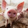"""Agenda politică - """"Miroase a porci şi nu ne place!"""""""