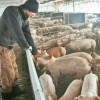Prin ordin al MADR - O nouă clasificare a fermelor de suine