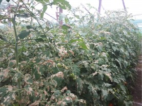 Buletin de avertizare fitosanitar - Tratamente la legume