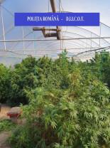 Cultură de peste o 160 kilograme de canabis, într-o seră din Bihor - Arestaţi pentru trafic internaţional de droguri