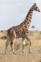 Puțin mai înaltă decât un cal - Cercetătorii au descoperit o girafă pitică