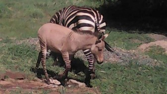Într-un parc naţional din Kenya - Măgarul şi-a făcut de cap cu zebra