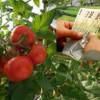 MADR. Schema de ajutor pentru producători - Programul tomate 2017