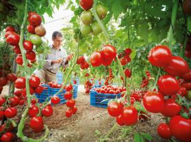 Buletin de avertizare fitosanitar - Tratamente pentru tomate şi ardei