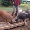 MADR, în atenţia crescătorilor de porci - Sprijin de la stat