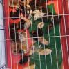Nouă boboci de rață sălbatică - Salvați de pompieri
