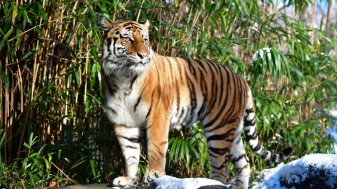 Un tigru de la o grădină zoologică din New York s-a îmbolnăvit - Testat pozitiv de Covid-19