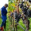 APIA: Termen 30 noiembrie la măsura de asigurare a recoltelor de struguri pentru vin