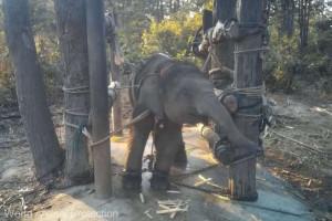 Thailanda. Imagini rare cu tehnicile crude de dresare a elefanţilor - Totul pentru plăcerea turiştilor