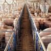 MADR: Ajutor de minimis pentru crescătorii de porci