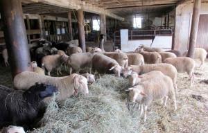 ANZ. Sprijinul cuplat - Verificări în fermele de ovine şi caprine
