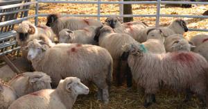 APIA. Subvenția ovine - Condiții obligatorii pentru fermieri