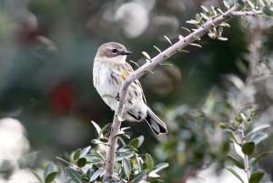 Efecte ale schimbărilor climatice - Păsări mai mici, dar cu aripi mai mari