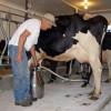 ANSVSA: Reguli privind - Producerea/comercializarea laptelui de vacă