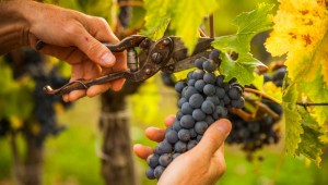 MADR. Viticultura 2021 - Fonduri europene de aproape 46 milioane euro